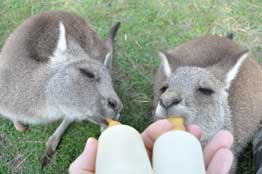Carer Raised Joeys