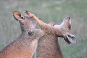 boxing joeys