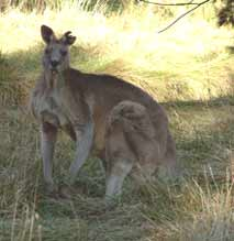 kangaroo from Belconnen