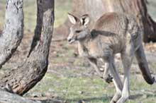 kangaroo on the move2