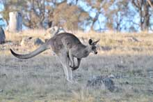 kangaroos on the move4