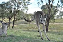 kangaroo on move6