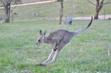 kangaroo on the move7