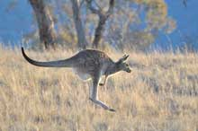 kangaroo on the move8