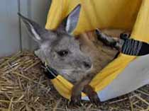orphaned joey8