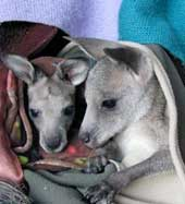 orphaned joey 5