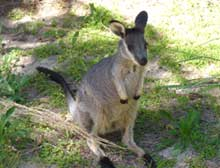 Black Gloved Wallaby