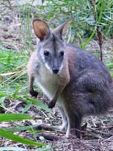 Black-striped Wallaby