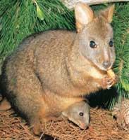 Red-bellied Tasmanian pademelon