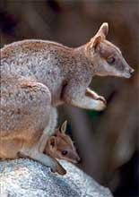 Unadorned Rock Wallaby